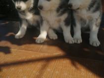 Câtei Husky