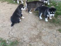 Pui husky nou născuți