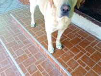 Labrador golden retrivier