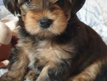 Puiuti Yorkshire Terrier