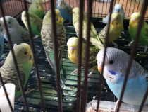 Papagali perusi tineri