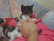 Pui pisica Zizisorii