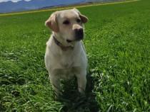 Mascul Labrador Retriever