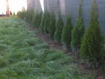 Tuia Arbusti ornamentali sau pentru garduri vi