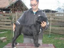 Canisa -catei de cane corso italiano de 5 luni