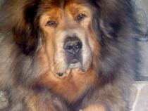 Mastiff de Tibet, pasaport international, microcip