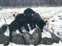 Pui Labrador Retriever Black & Golden
