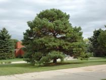 Pinus sylvestris – pin silvestru, pin rosu