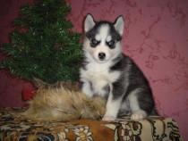 Husky Siberian, pui cu ochi albastri, genetic pur