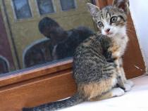 Spre adoptie pisicuta tricolora, de 2 luni