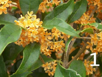10 Seminte Osmanthus fragrans (Maslinul parfumat)