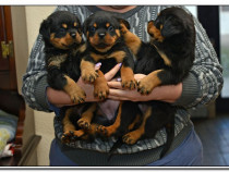 Rottweiler 8sapt. talie mare,parinti cu pedigree,poz, reale.