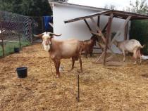 Pereche capra si tap Saanen 5 litri lapte/zi