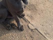 Cane corso mascul 5 luni