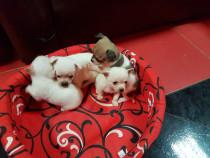 Chihuahua Suntem dulci si dragălași