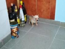 Chihuahua mini toy poze reale rasă pură