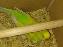 Papagali Peruș