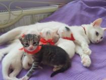 Pui pisica persana cu angora turceasca