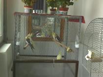 Papagali Nimfă