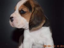 Pui beagle cu pedigree