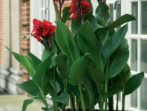 10 semințe Canna Indica roșu - flori extaordinare exterior