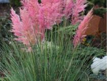 50 semințe iarbă de Pampas - regina ierburilor ornamentale