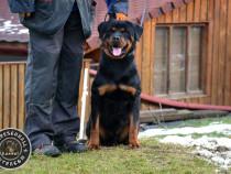 Mascul Rottweiler cu pedigree