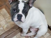 Bulldog francez 8 luni, mascul