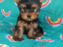 Catei Yorkshire Terrier Mini Toy