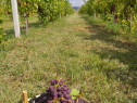 Inființăm plantații pomicole /viticole /arbustive .