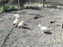 Găini pitice