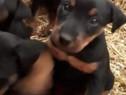 Pui jagd terrier jagdterrier