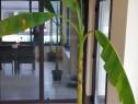 Bananier japonez musa basjoo - 1,8m