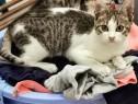 RAPHAEL, British Shorthair Tabby White mixbreed, adoptie