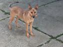 Câine ciobanesc belgian