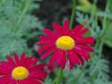 Margarete rosii (Tanacetum Robins red)