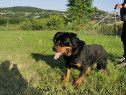 Mascul Rottweiler disponibil