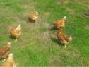 Găini de casa rasa mixtă
