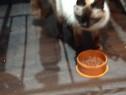 Pisica de rasa