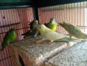 Papagali Perechi tinere pentru reprodus