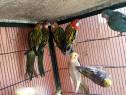 15 Rase de papagali
