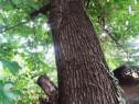Copac lemn dud