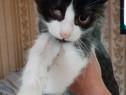 Pui pisica alb negru Vasilica