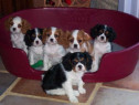 Cavalier King Charles, pasaport international, microcip