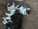 Husky siberian cu ochii albastrii trimit video cu ei