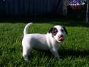 Jack Russel Terrier, par scurt, talie mica