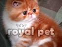 Pisici exotic shorthair bucuresti,oradea,brasov,constanta