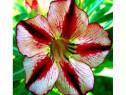 Puiuti Trandafir de Desert Bondy Red