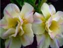 Pui trandafir desert bonsai Tongsaprang