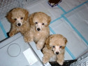 Caniche Pitic si Toy